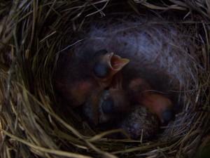baby birds in next