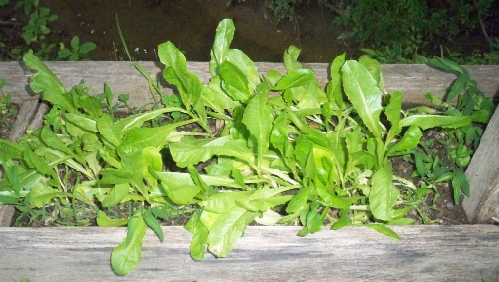 lettuce raised bed