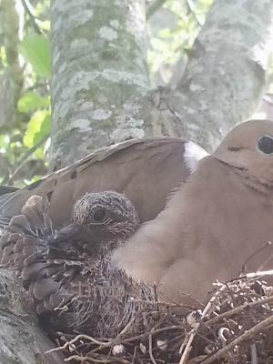doves on nest