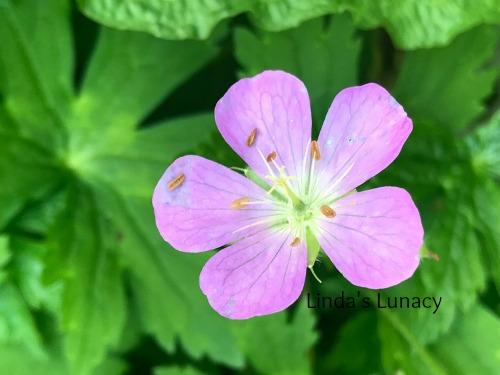 Wild Geranium)