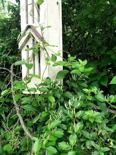 honeysuckle butterfly house
